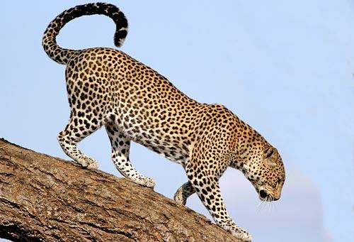 leopardo-africano-p